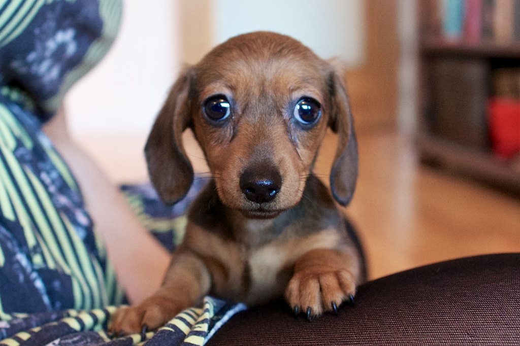 Miniature Dachshund Eva 034 mini