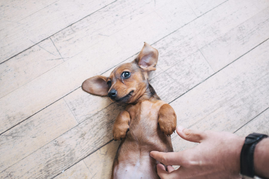 mini dachshund upside down